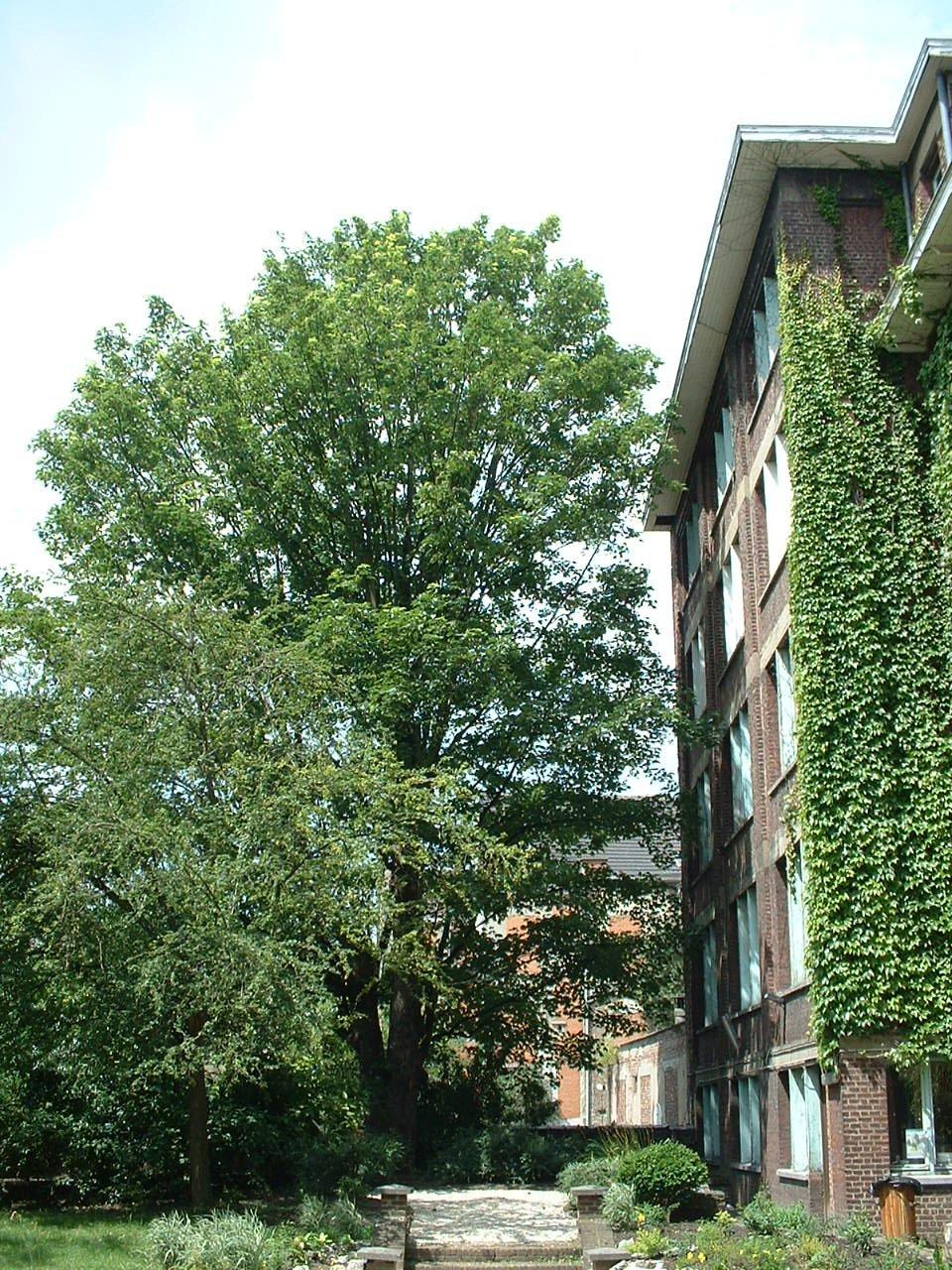 Erable sycomore – Schaerbeek, Rue Gallait, 78 –  12 Juillet 2002