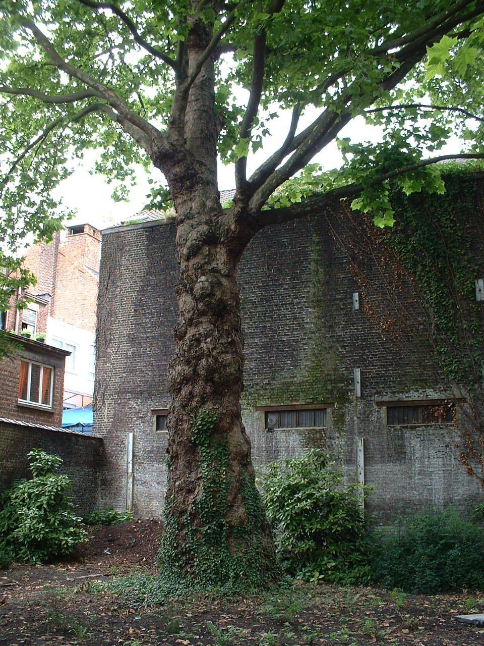 Platane à feuille d'érable – Schaerbeek, Avenue de la Reine, 141 –  12 Juillet 2002