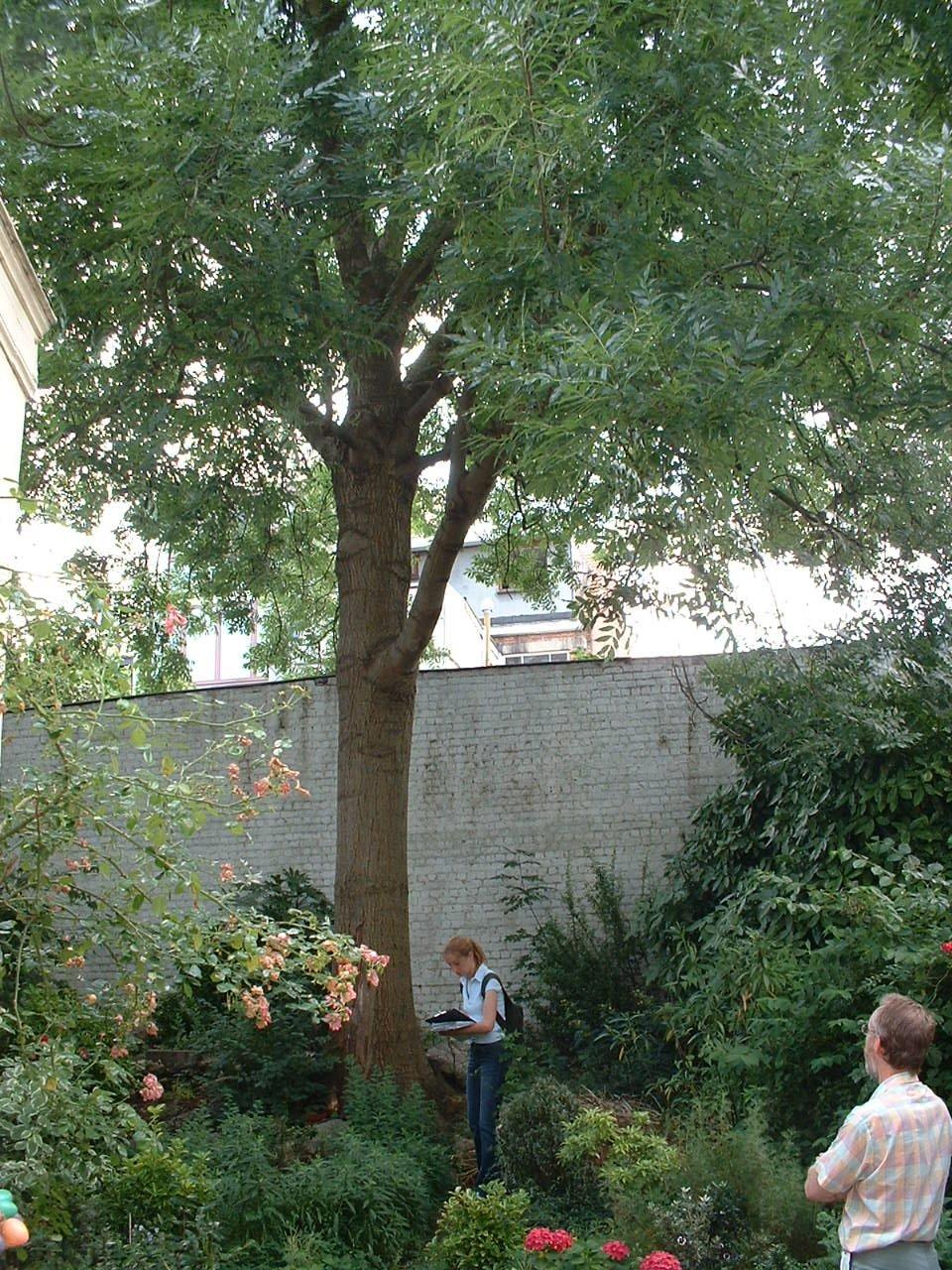 Frêne commun – Schaerbeek, Avenue des Azalées, 48 –  16 Juillet 2002