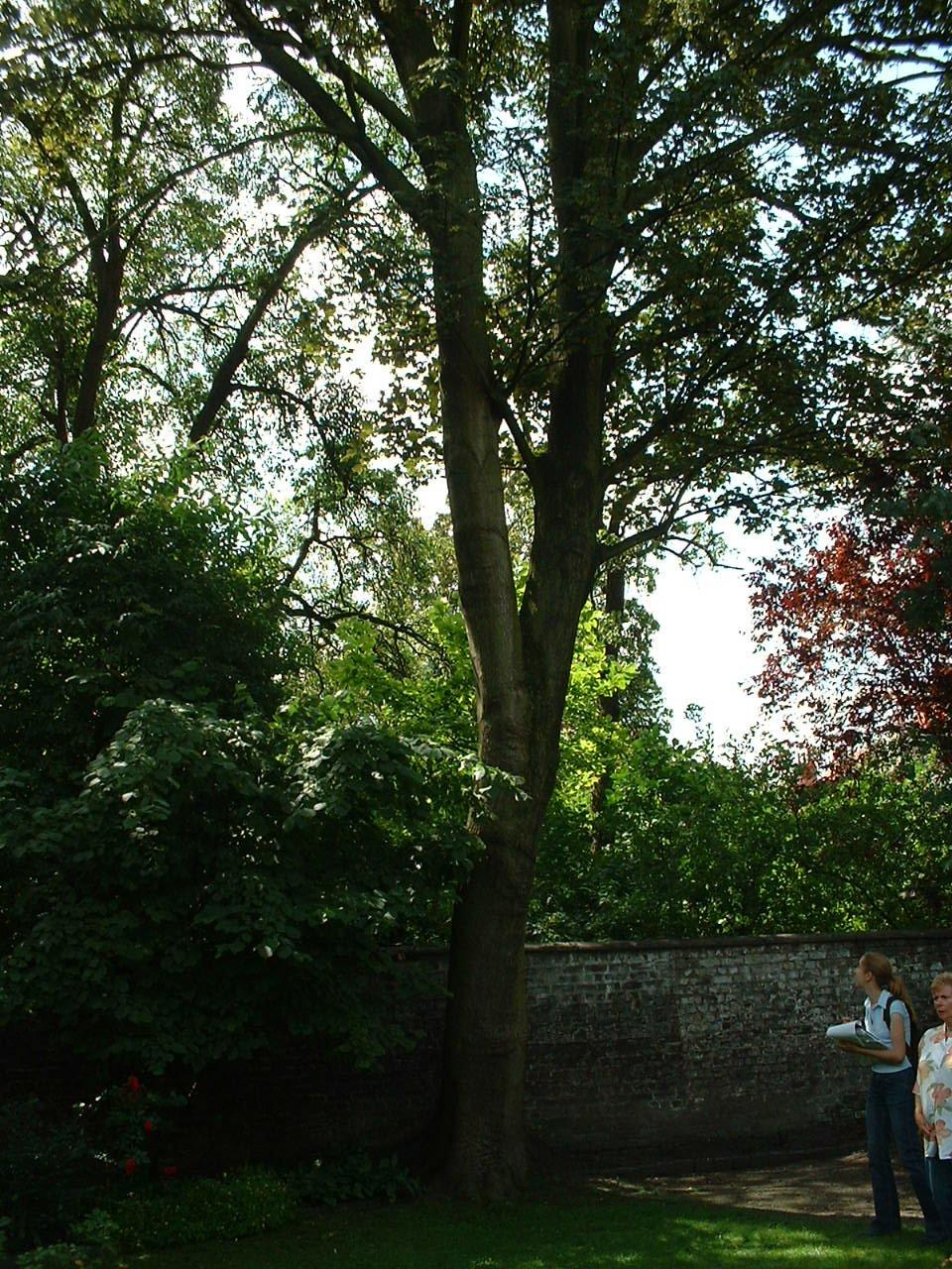 Erable sycomore – Schaerbeek, Rue Albert de Latour, 53 –  16 Juillet 2002