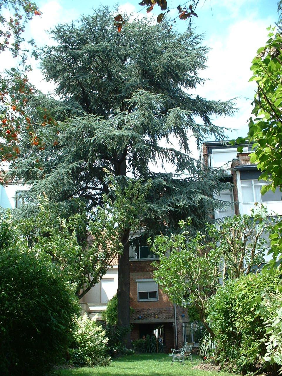Cèdre bleu de l'Atlas – Schaerbeek, Rue Albert de Latour, 57 –  16 Juillet 2002