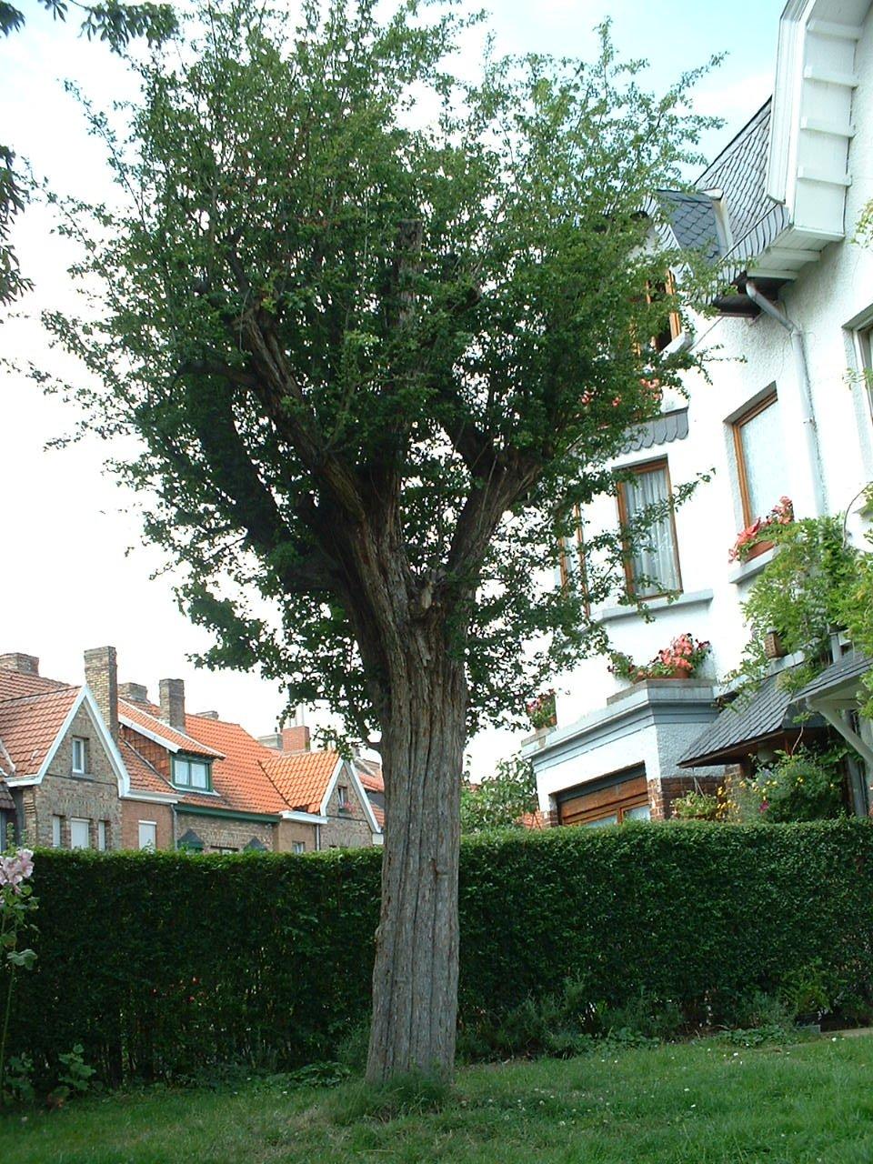 Aubépine à deux styles – Schaerbeek, Rue Hubert Krains, 1 –  16 Juillet 2002