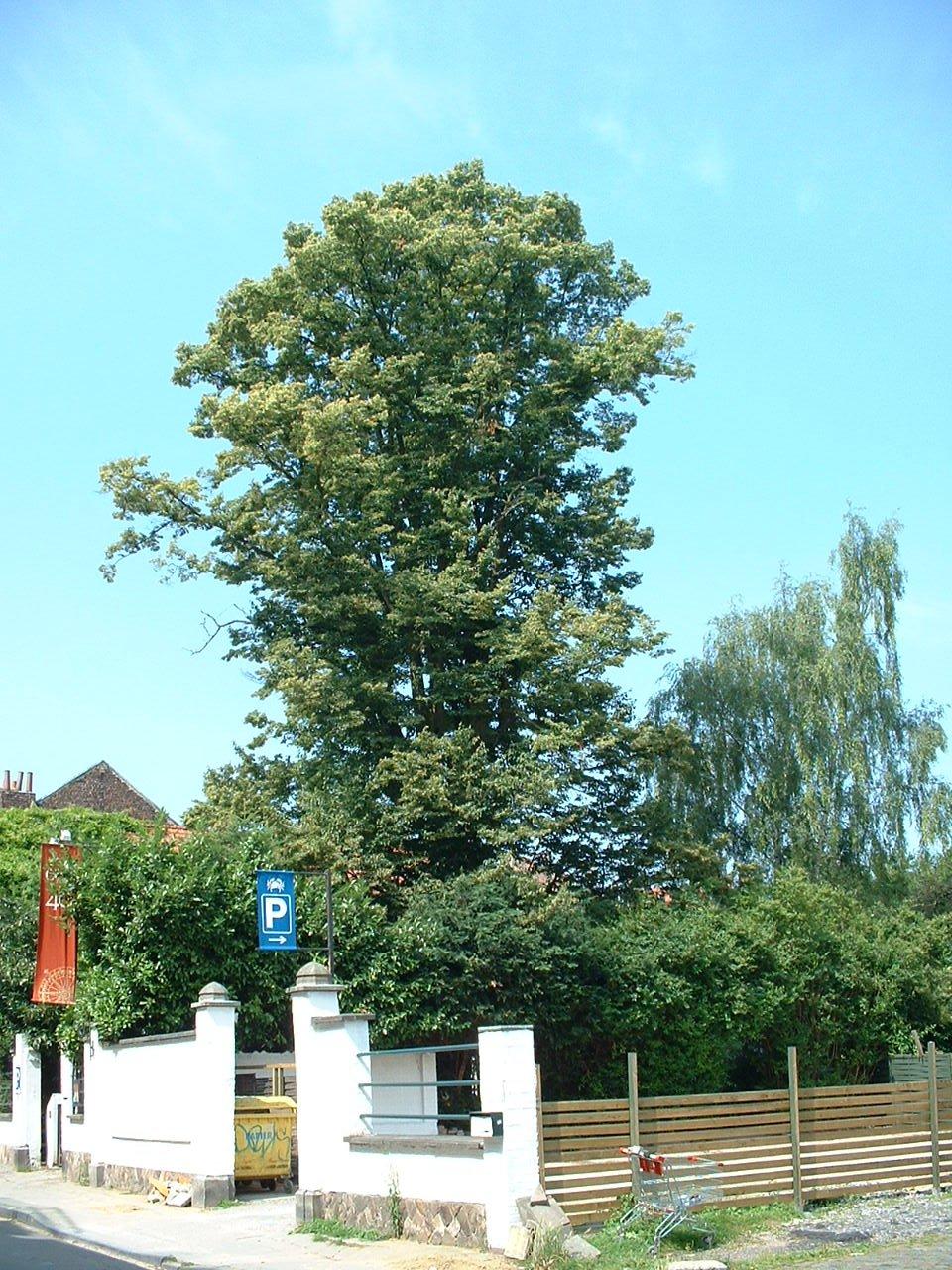 Tilleul à petites feuilles – Watermael-Boitsfort, Avenue du Bois de la Cambre, 19 –  17 Juillet 2002