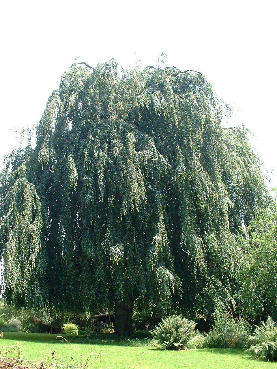 Hêtre pleureur – Watermael-Boitsfort, Avenue des Taillis, 17 –  17 Juillet 2002