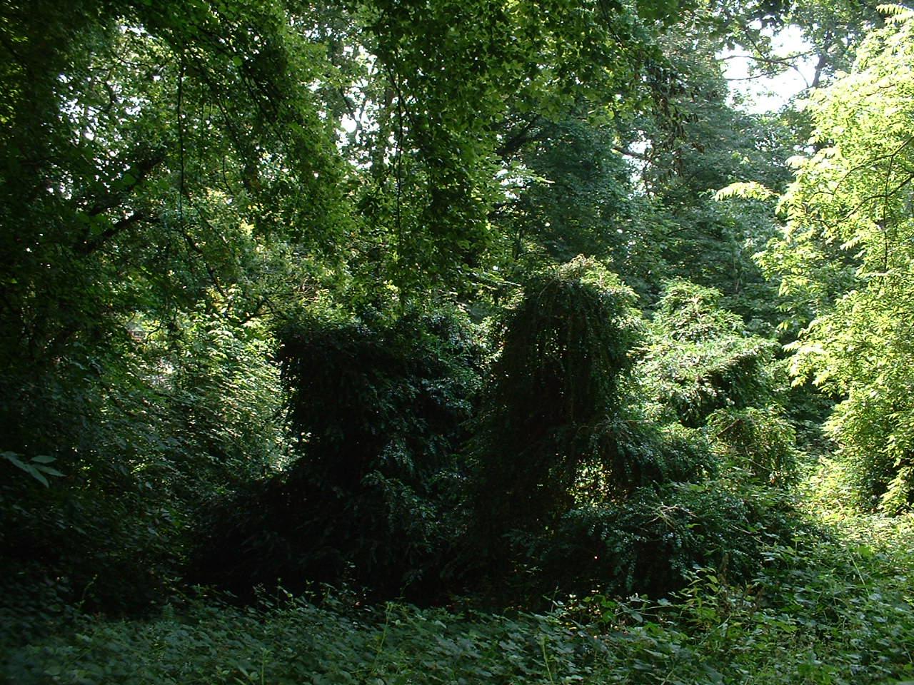 Buis – Watermael-Boitsfort, Parc privé de l'Institut royal des Sciences naturelles de Belgique et chemin des Chablis, Chemin des Chablis, 4 –  17 Juillet 2002