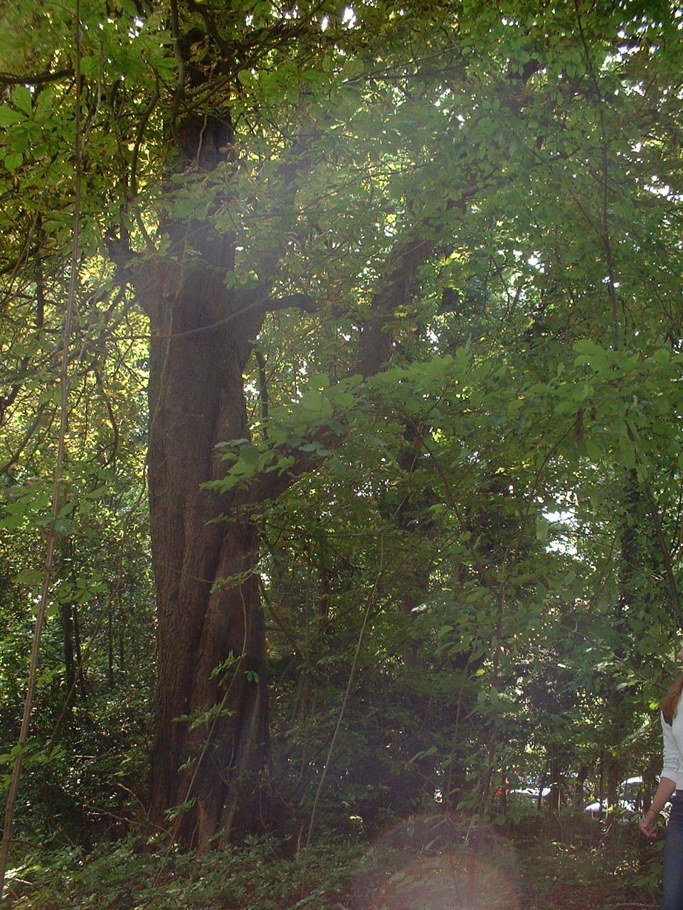 Marronnier commun – Watermael-Boitsfort, Parc privé de l'Institut royal des Sciences naturelles de Belgique et chemin des Chablis, Chemin des Chablis, 4 –  17 Juillet 2002