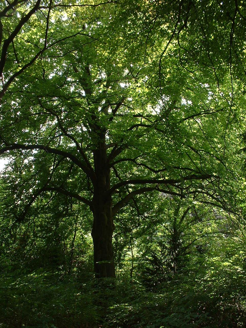 Hêtre d'Europe – Watermael-Boitsfort, Parc privé de l'Institut royal des Sciences naturelles de Belgique et chemin des Chablis, Chemin des Chablis, 4 –  17 Juillet 2002