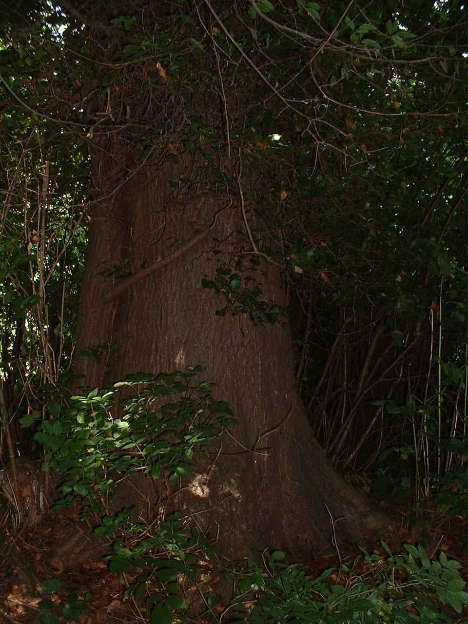Frêne commun – Watermael-Boitsfort, Parc privé de l'Institut royal des Sciences naturelles de Belgique et chemin des Chablis, Chemin des Chablis, 4 –  17 Juillet 2002