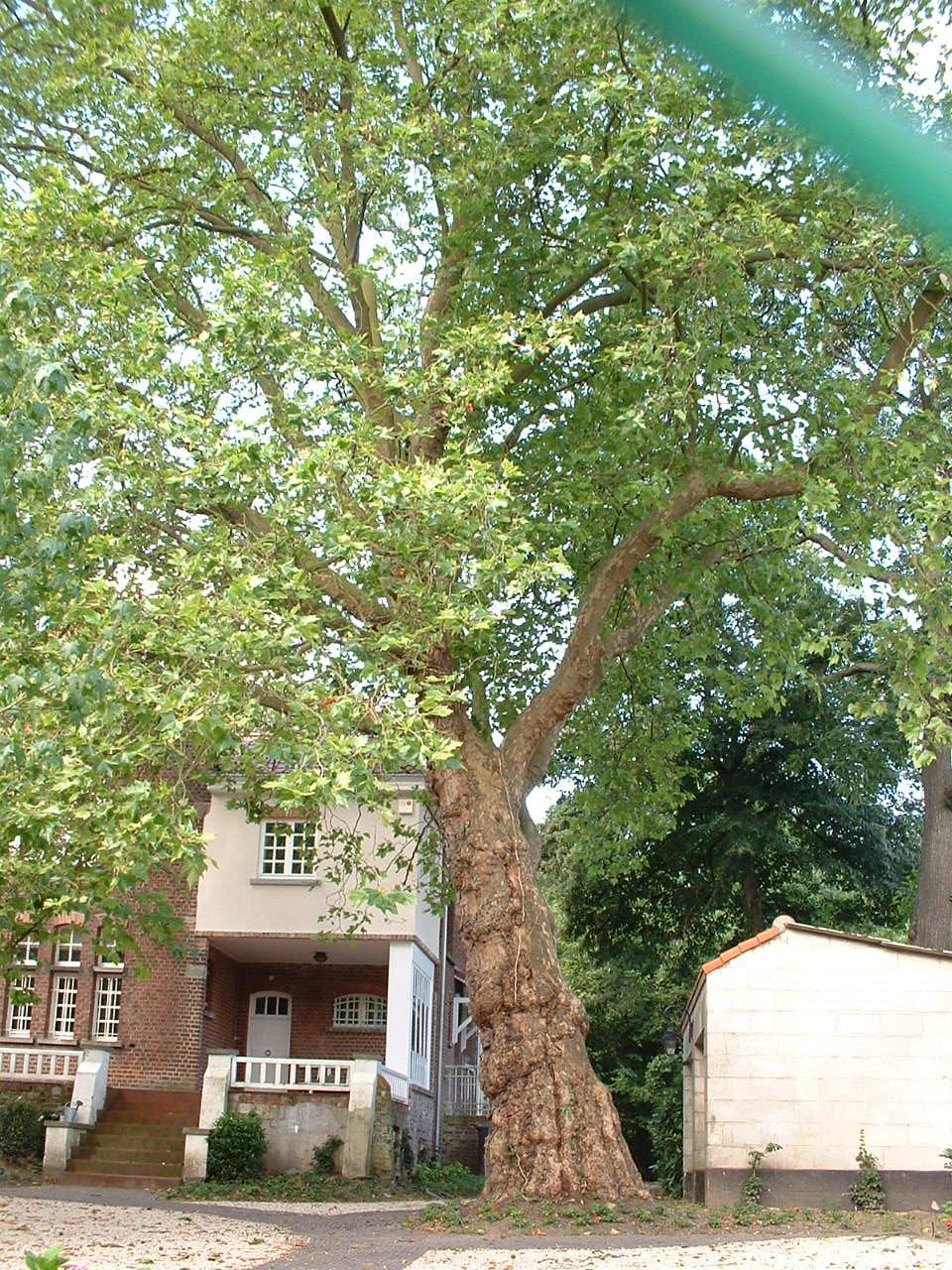 Platane à feuille d'érable – Watermael-Boitsfort, Avenue Emile Van Becelaere, 164 –  18 Juillet 2002