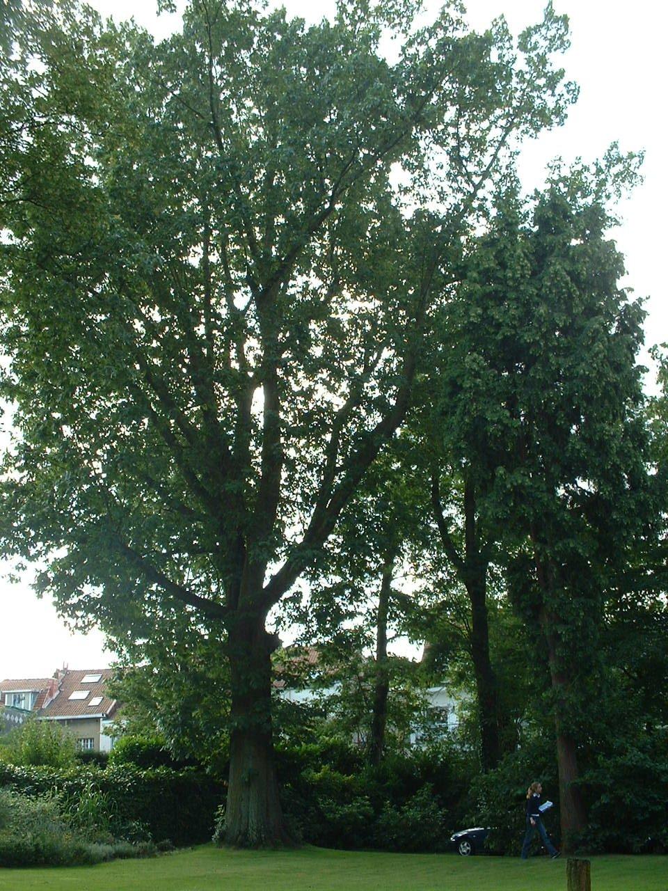 Chêne rouge d'Amérique – Watermael-Boitsfort, Avenue Emile Van Becelaere, 113 –  18 Juillet 2002