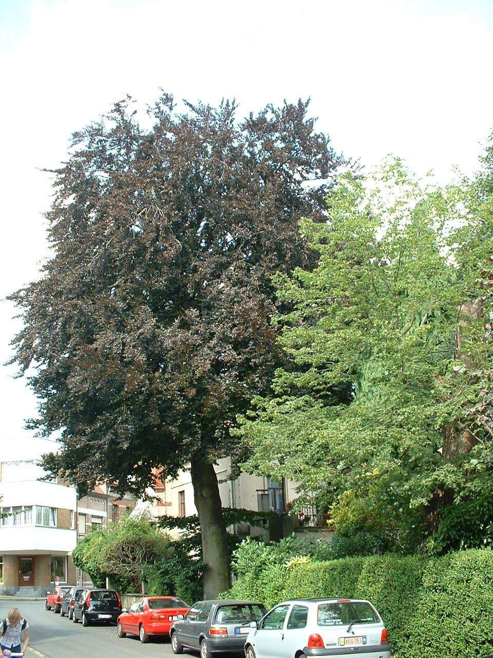Hêtre pourpre – Watermael-Boitsfort, Rue des Touristes, 24 –  18 Juillet 2002