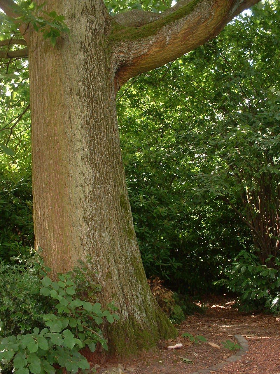 Chêne rouge d'Amérique – Watermael-Boitsfort, Drève des Weigélias, 33 –  18 Juillet 2002