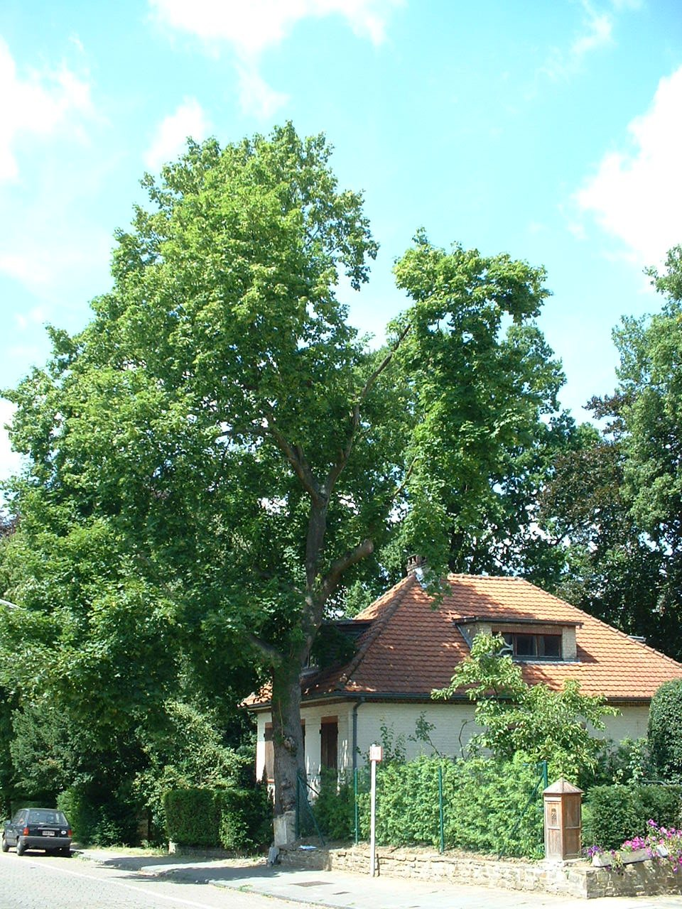 Noorse esdoorn – Watermaal-Bosvoorde, Léopold Wienerlaan, 90 –  18 Juli 2002