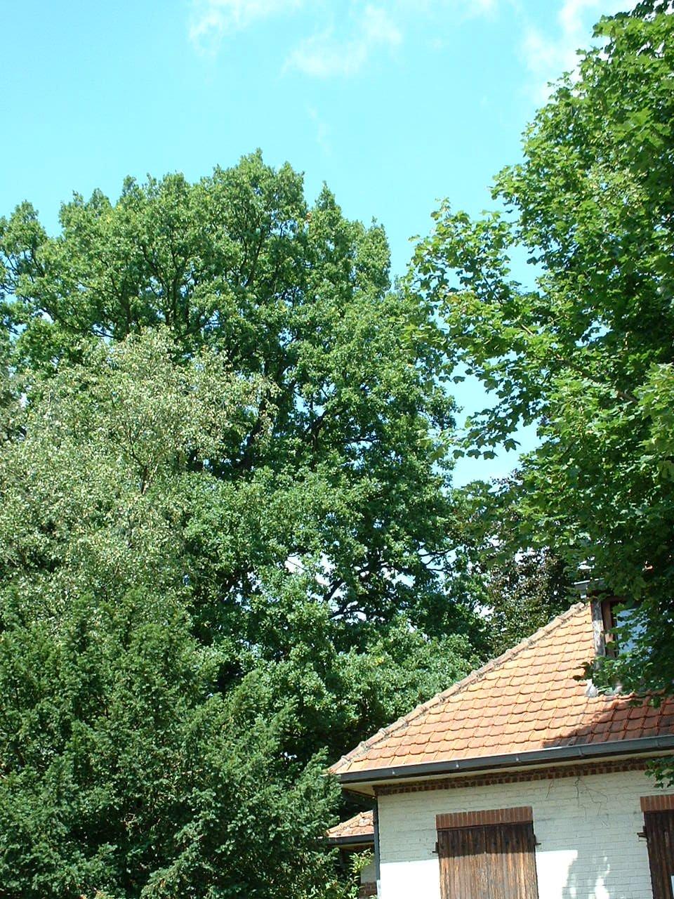 Chêne pédonculé – Watermael-Boitsfort, Avenue Léopold Wiener, 86 –  18 Juillet 2002