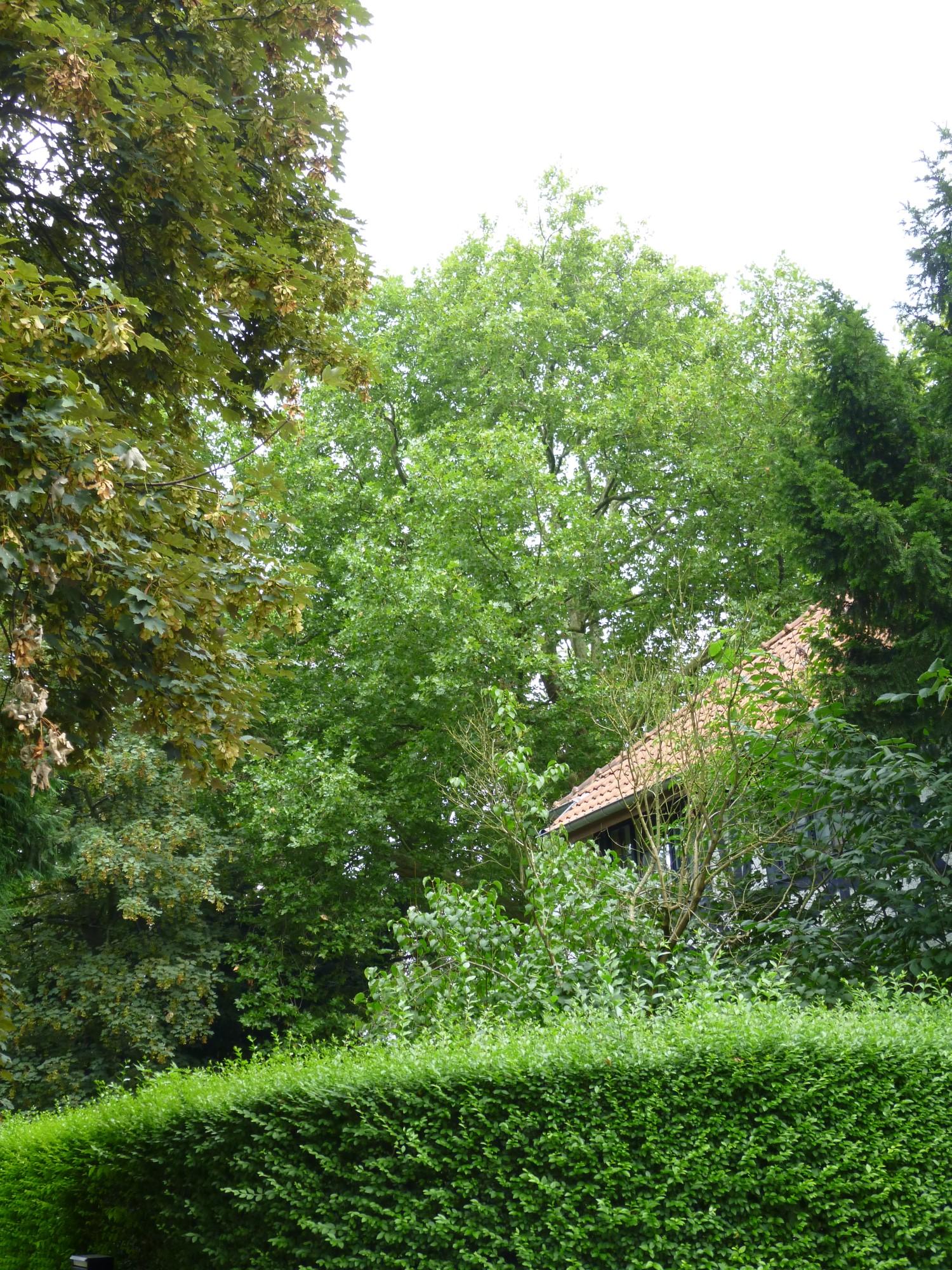 Platane à feuille d'érable – Watermael-Boitsfort, Avenue Léopold Wiener, 100 –  29 Juillet 2014