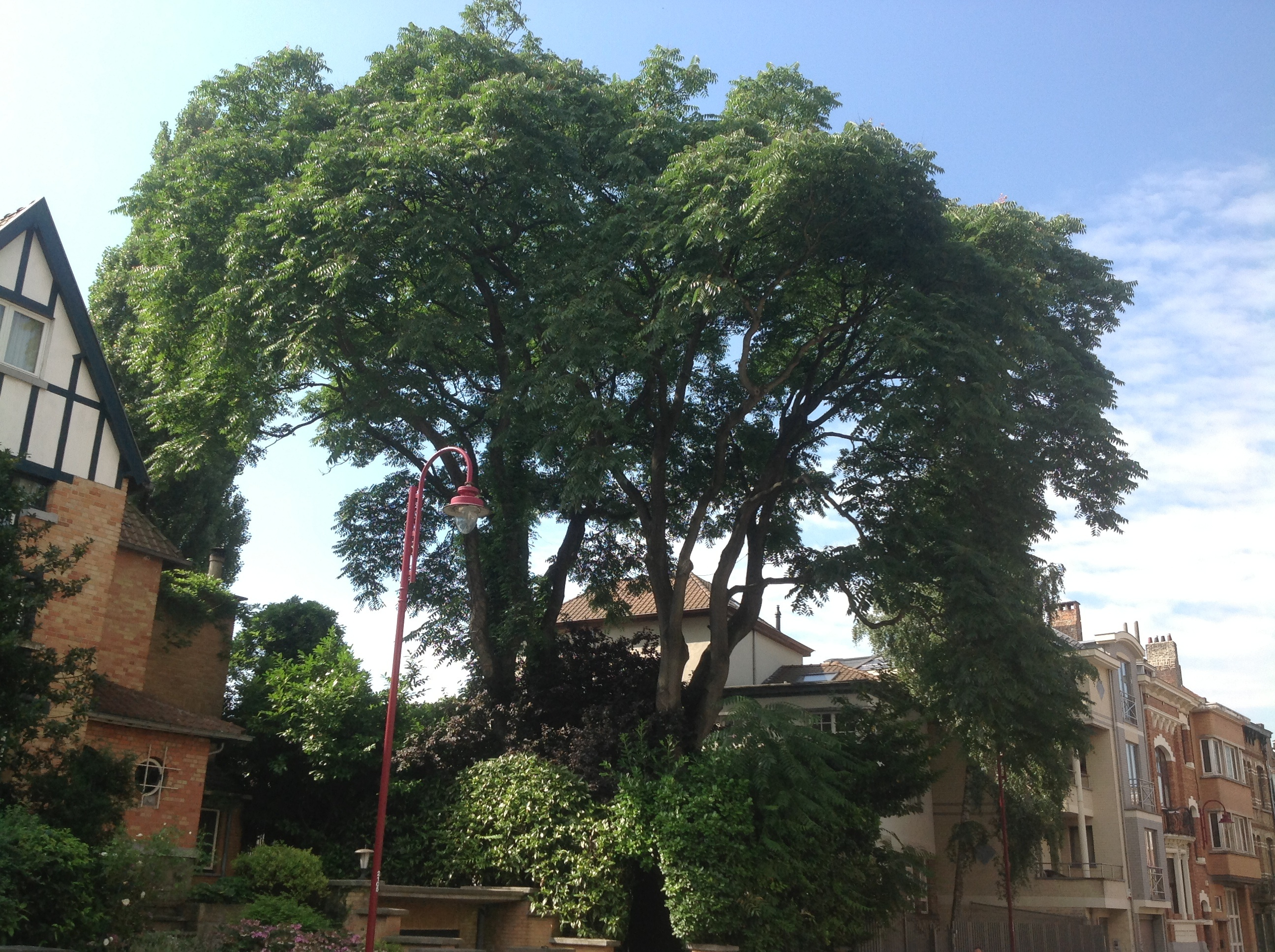 Ailante glanduleux – Berchem-Sainte-Agathe, Rue des Combattants, 19 –  28 Août 2013