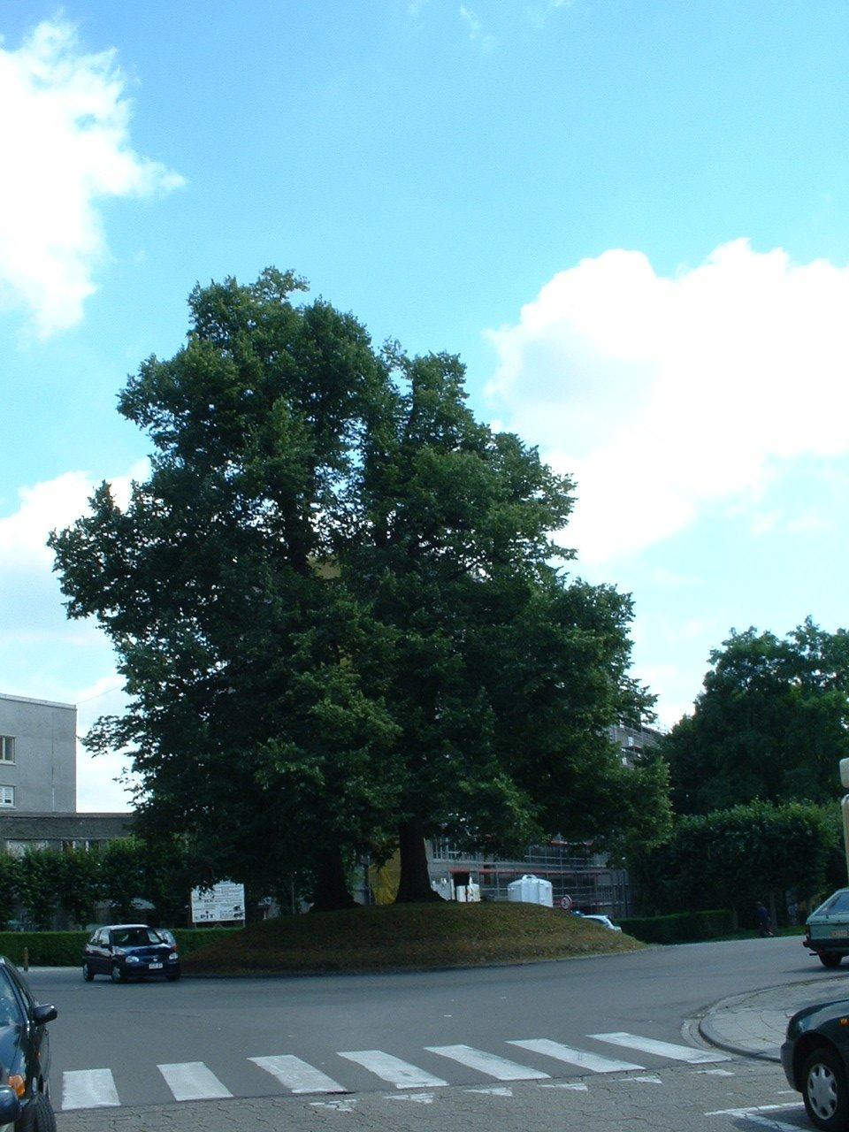 Tilleul à petites feuilles – Watermael-Boitsfort, Rue des Trois Tilleuls –  18 Juillet 2002