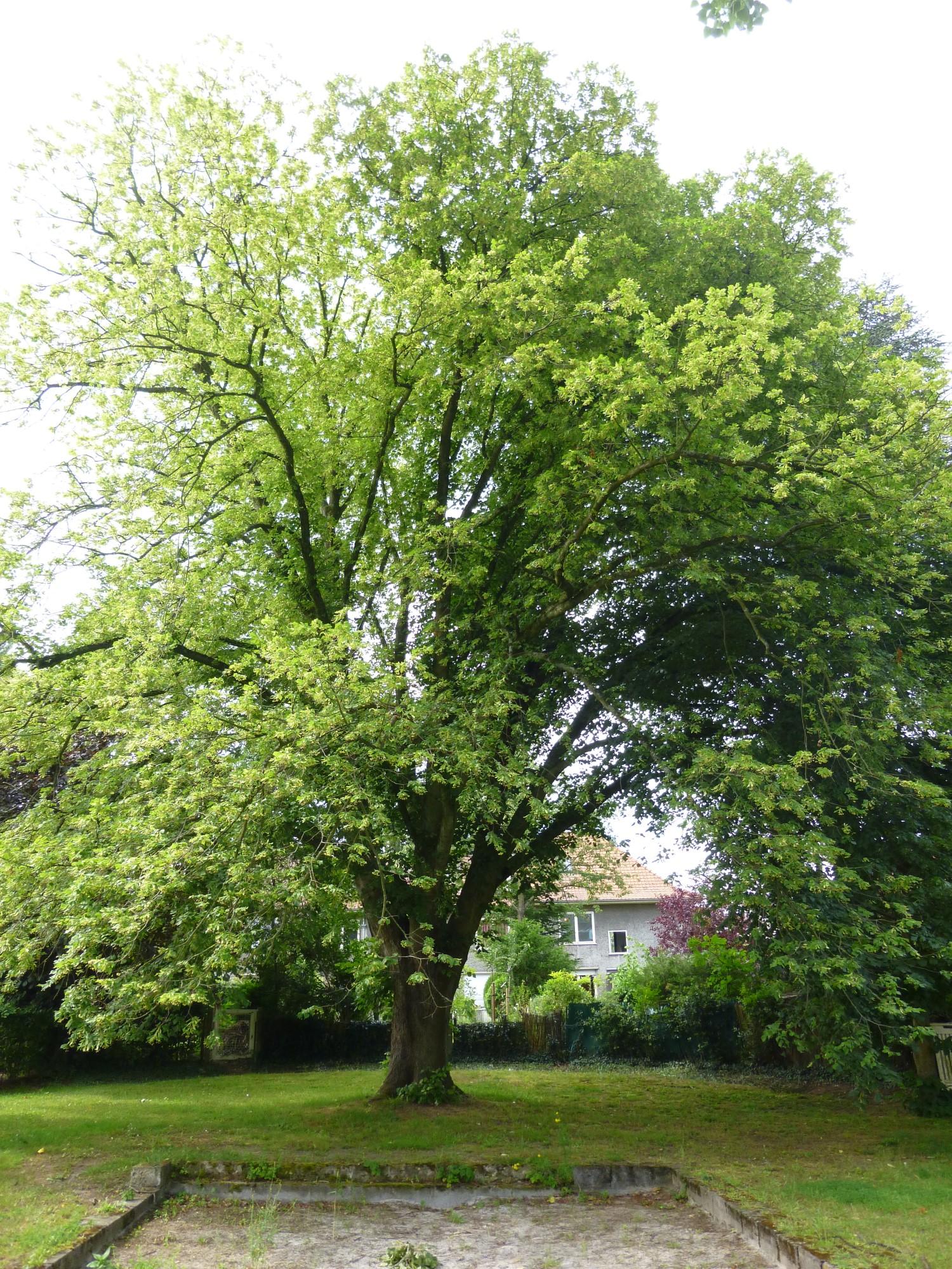 Tilleul du Caucase – Watermael-Boitsfort, Cités-Jardin Le Logis et Floréal, Avenue des Dryades –  13 Juin 2014