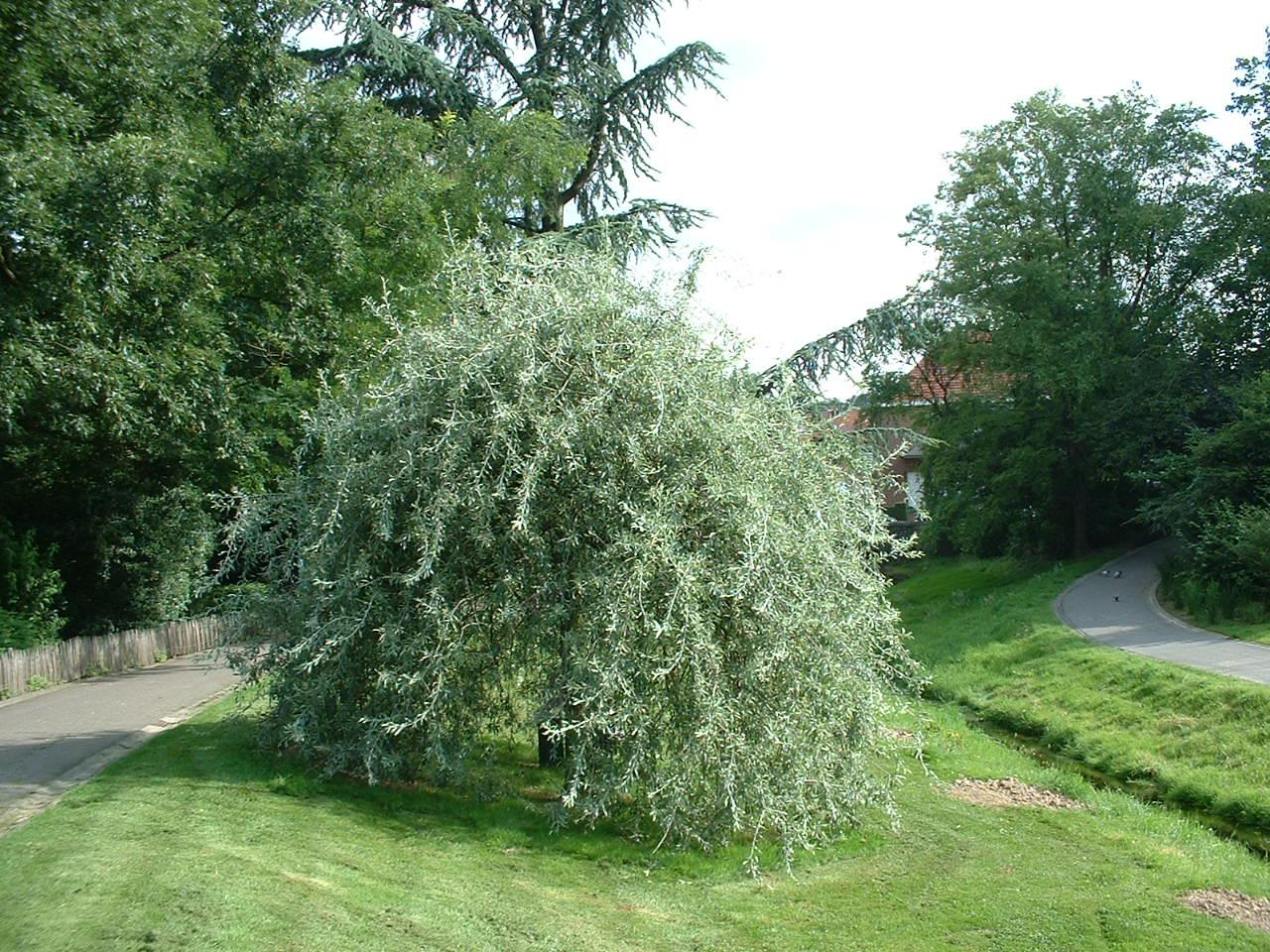 Pyrus salicifolia f. pendula – Auderghem, Parc Seny, Boulevard du Souverain –  19 Juillet 2002
