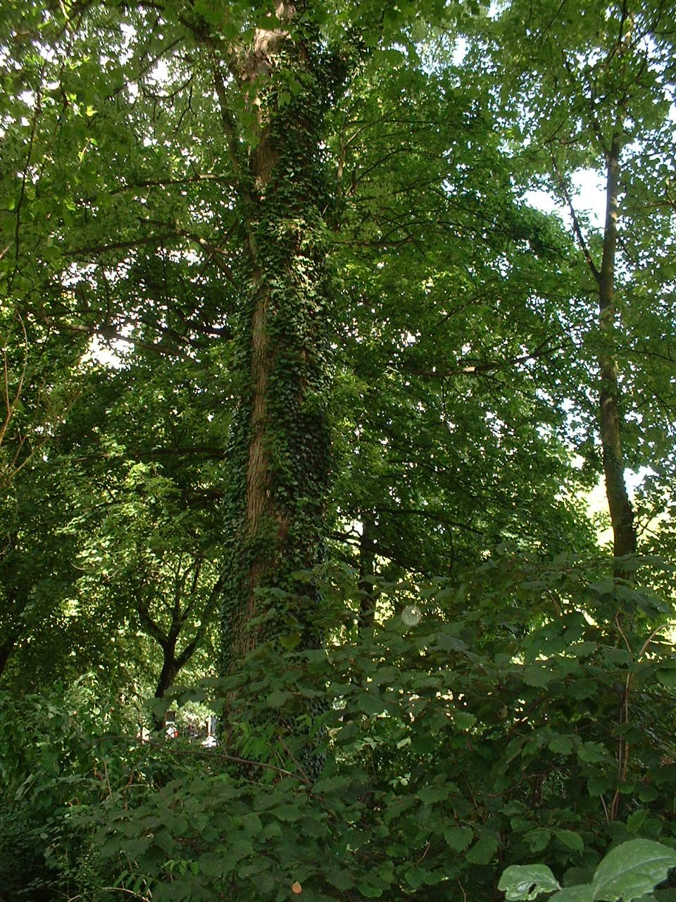 Erable argenté – Watermael-Boitsfort, Parc Tenreuken, Boulevard du Souverain –  19 Juillet 2002
