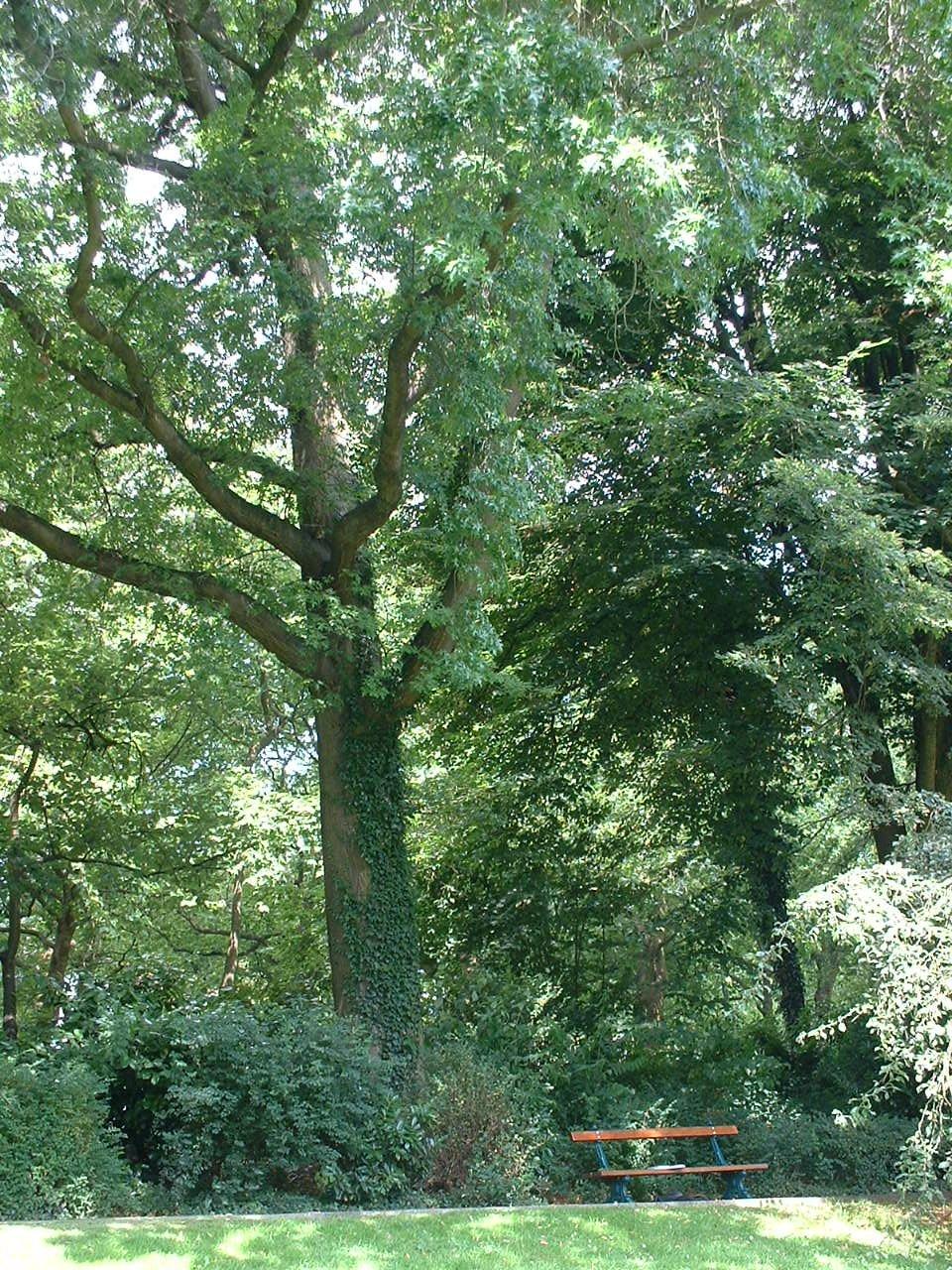 Chêne des marais – Watermael-Boitsfort, Parc Tenreuken, Boulevard du Souverain –  19 Juillet 2002