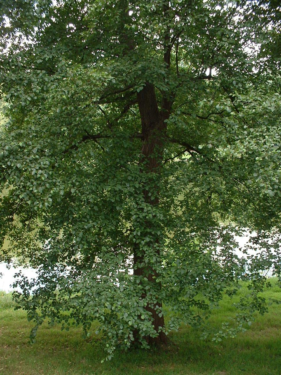 Aulne à feuilles cordées – Watermael-Boitsfort, Parc Tenreuken, Avenue du Grand Forestier –  19 Juillet 2002