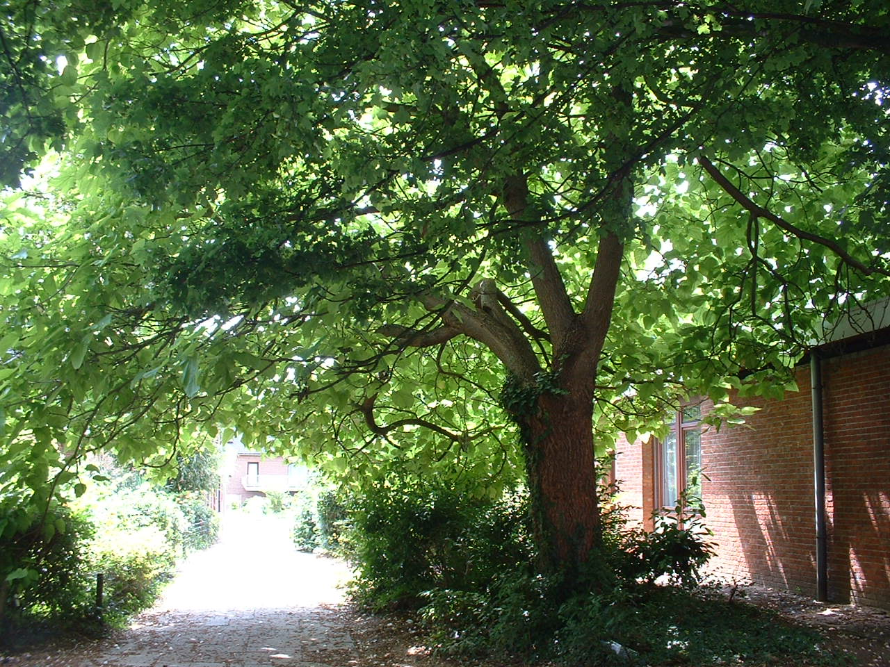 Catalpa commun – Woluwé-Saint-Lambert, Avenue Oscar Jespers, 31 –  24 Juillet 2002