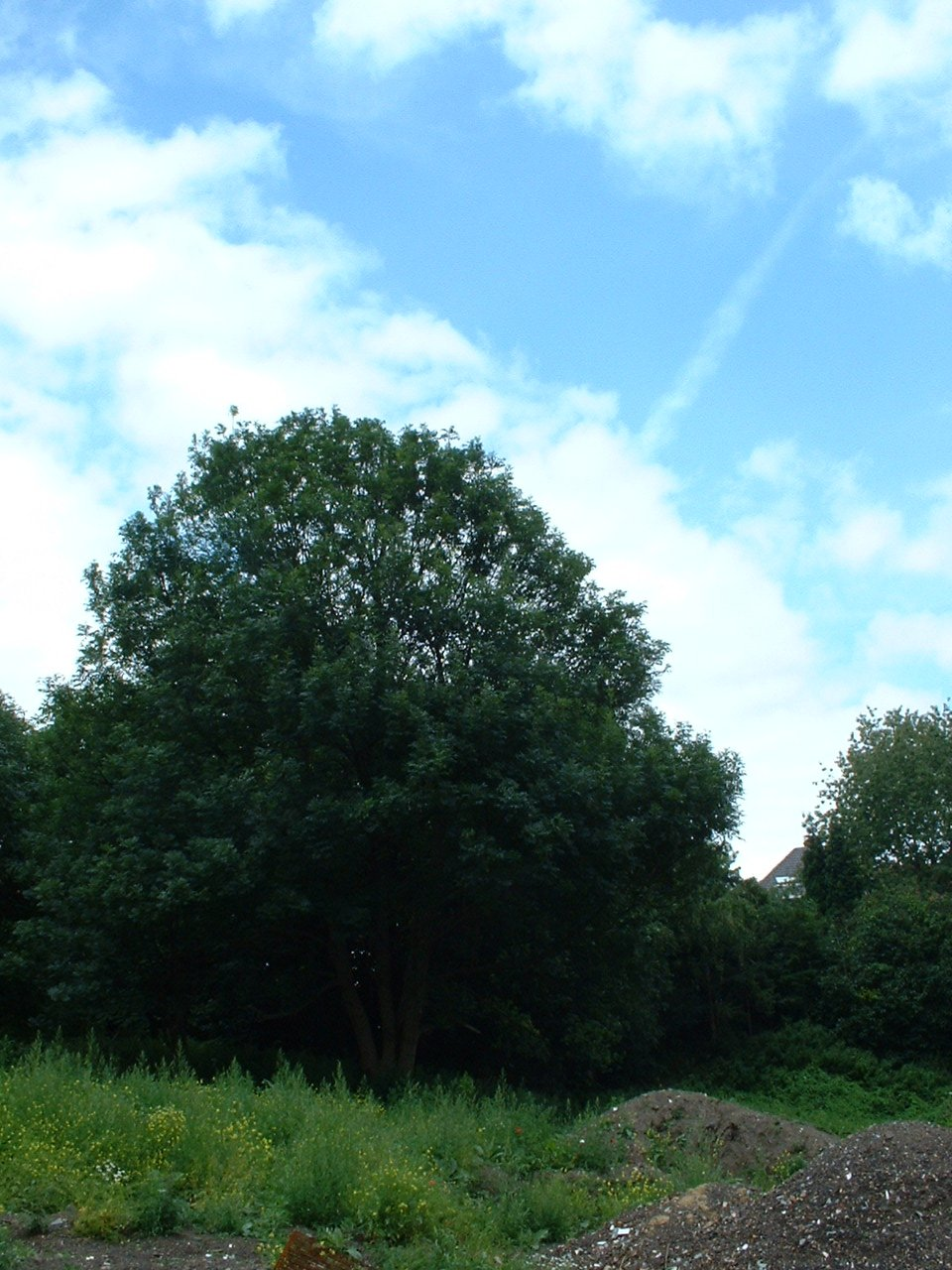 Frêne commun – Woluwé-Saint-Lambert, Avenue Marcel Thiry –  24 Juillet 2002