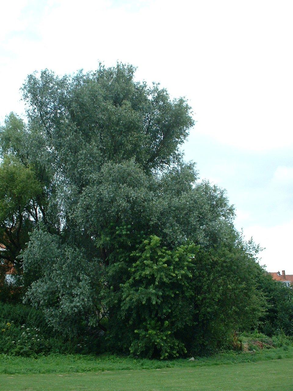 Gewone wilg – St.- Lambrechts - Woluwe, Marcel Thirylaan –  24 Juli 2002
