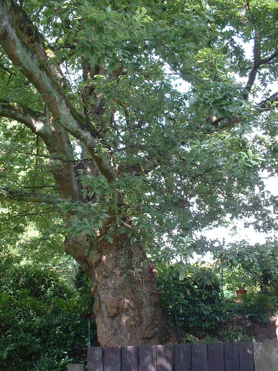 Chêne pédonculé – Watermael-Boitsfort, Avenue de la Fauconnerie, 131-133 –  25 Juillet 2002