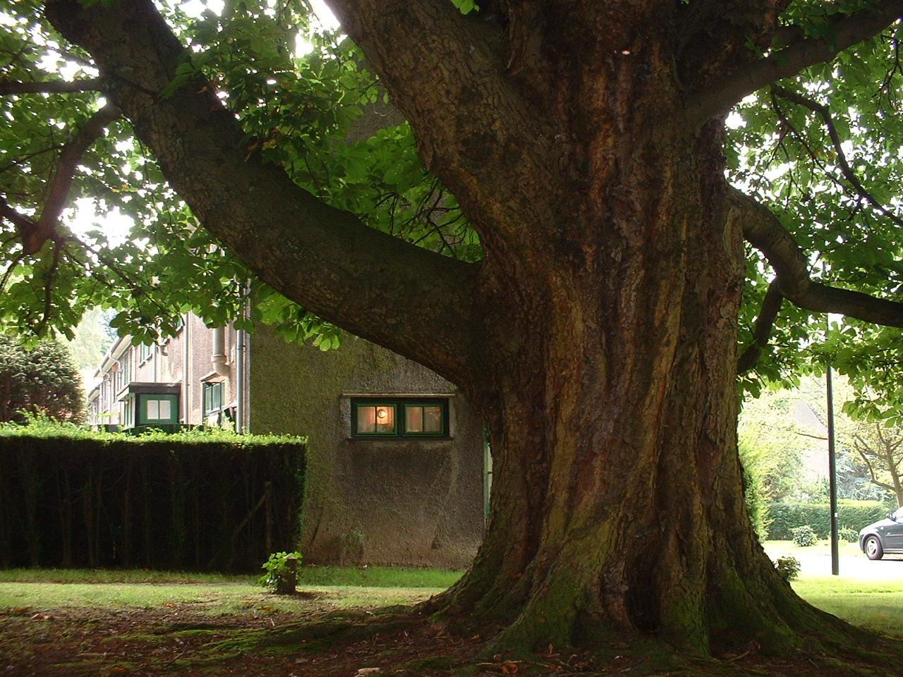 Marronnier commun – Watermael-Boitsfort, Rue des Ibis –  25 Juillet 2002