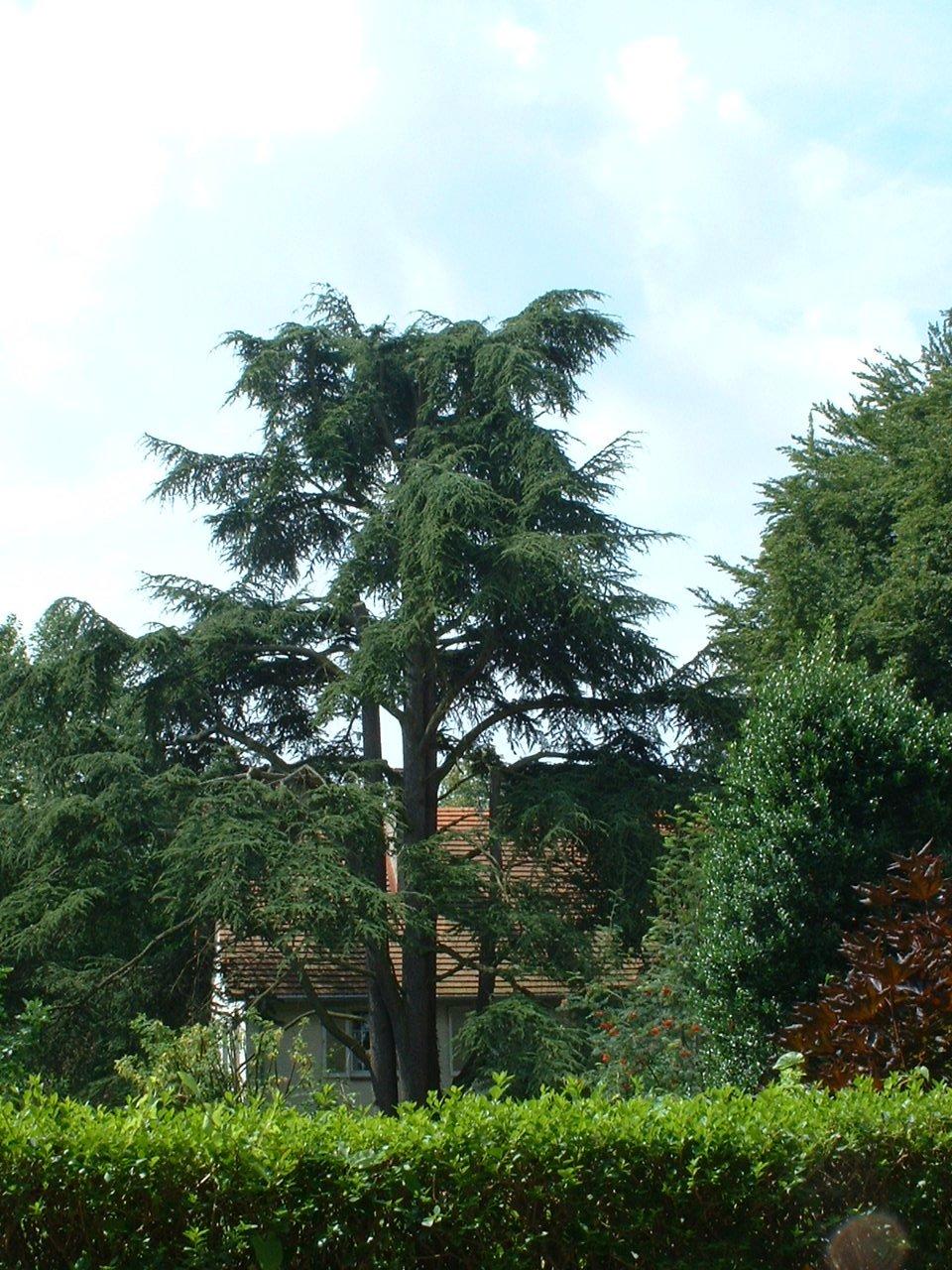Cèdre du Liban – Watermael-Boitsfort, Avenue de l'Arbalète, 58 –  25 Juillet 2002