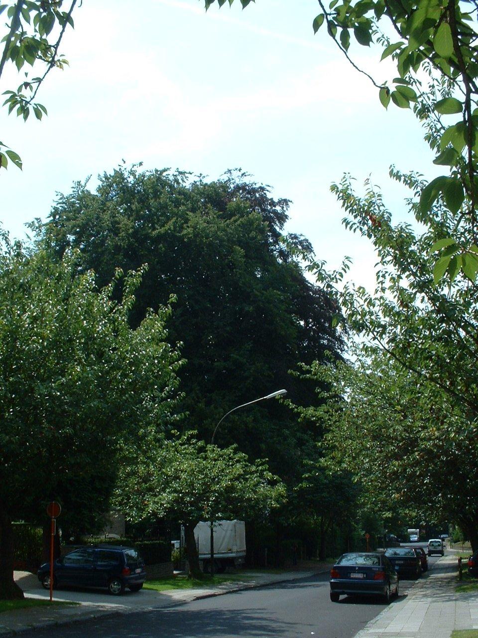 Hêtre pourpre – Watermael-Boitsfort, Avenue de l'Arbalète, 58 –  25 Juillet 2002