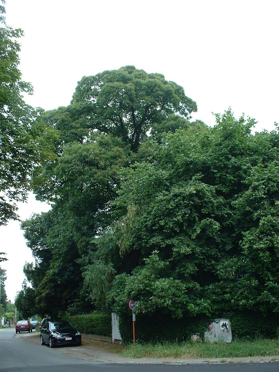 Châtaignier – Watermael-Boitsfort, Avenue Emile Van Becelaere, 29 –  25 Juillet 2002