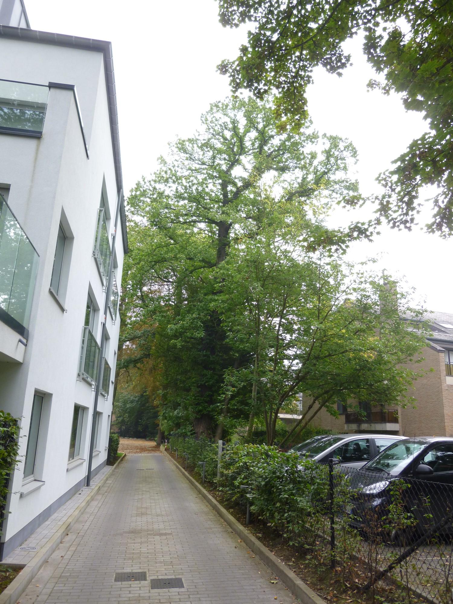 Tamme kastanje – Watermaal-Bosvoorde, Emile Van Becelaerelaan, 13 –  08 September 2014