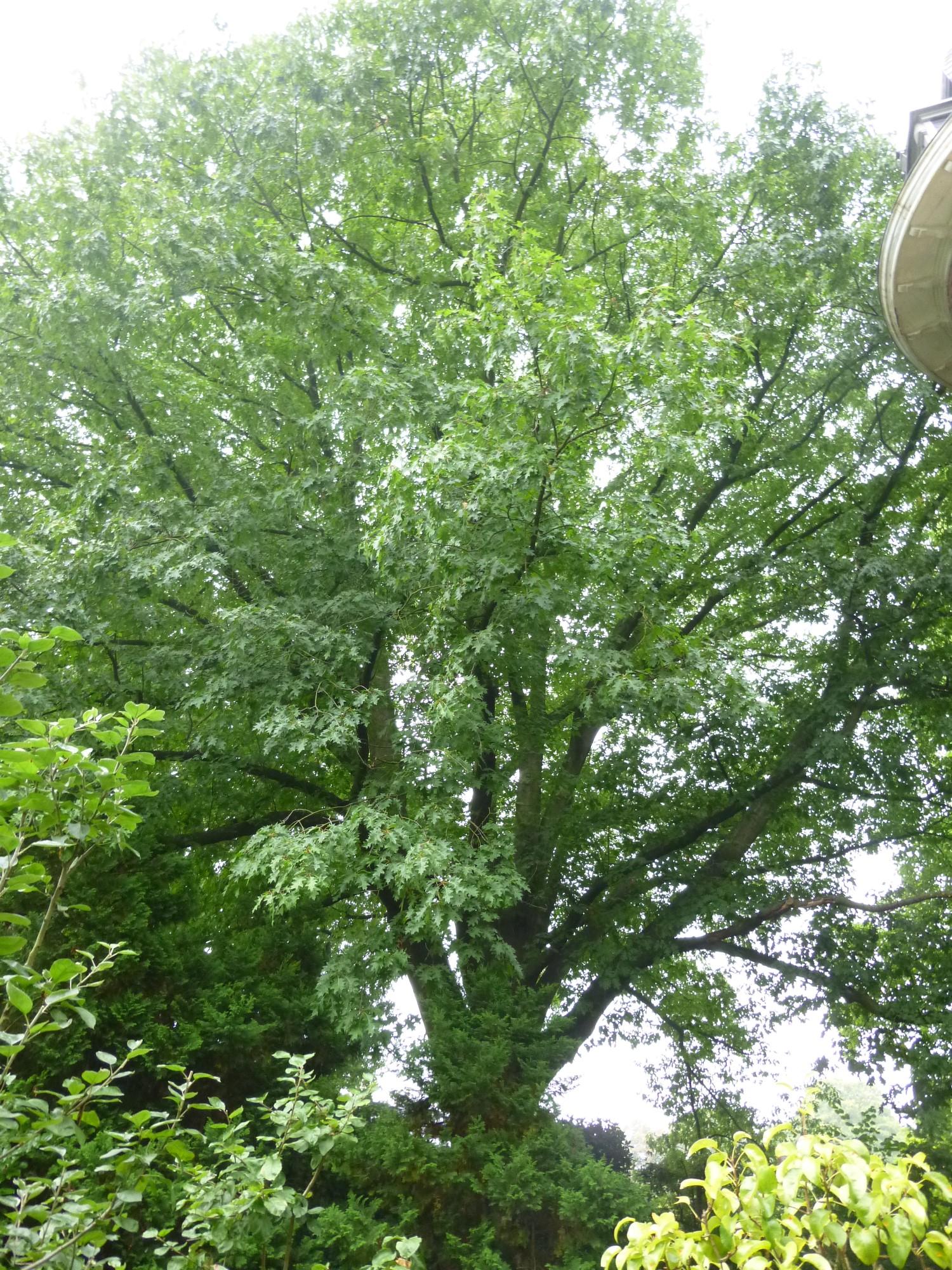 Chêne rouge d'Amérique – Watermael-Boitsfort, Avenue Emile Van Becelaere, 16 –  08 Septembre 2014