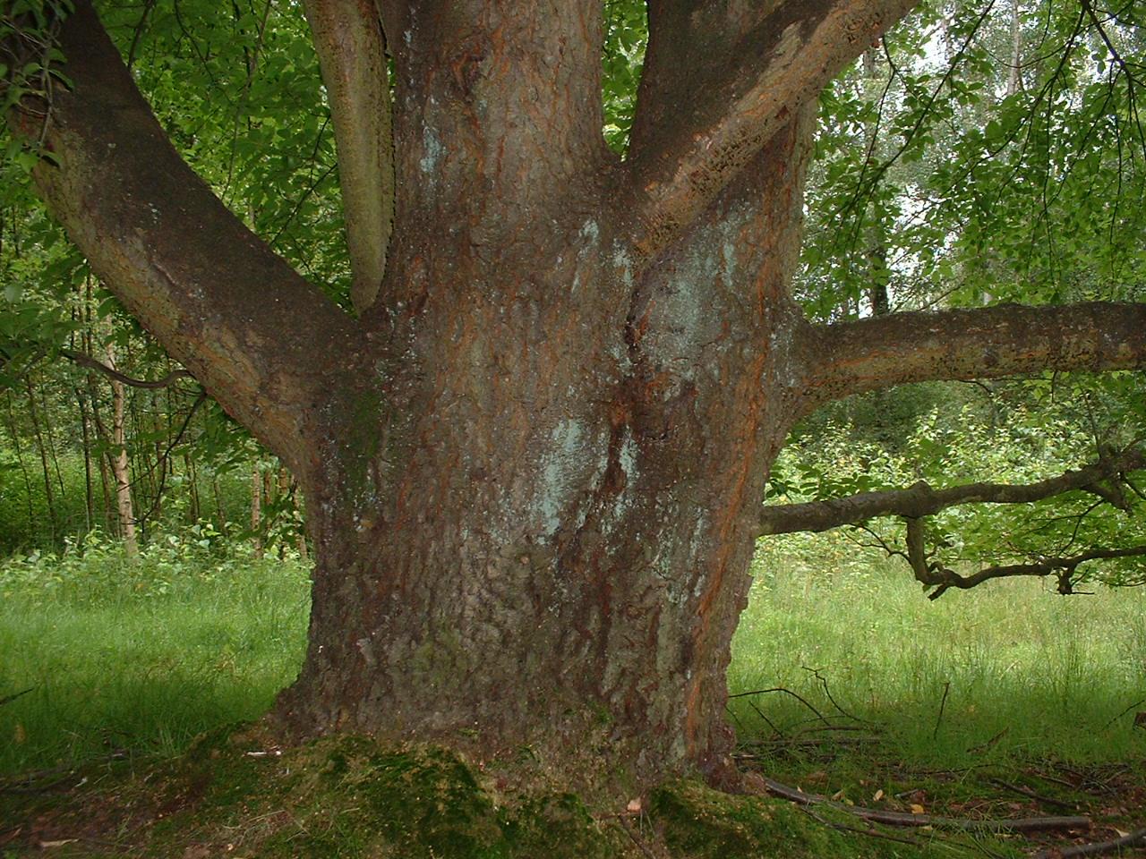 Cerisier noir – Watermael-Boitsfort, Avenue de la Foresterie –  26 Juillet 2002