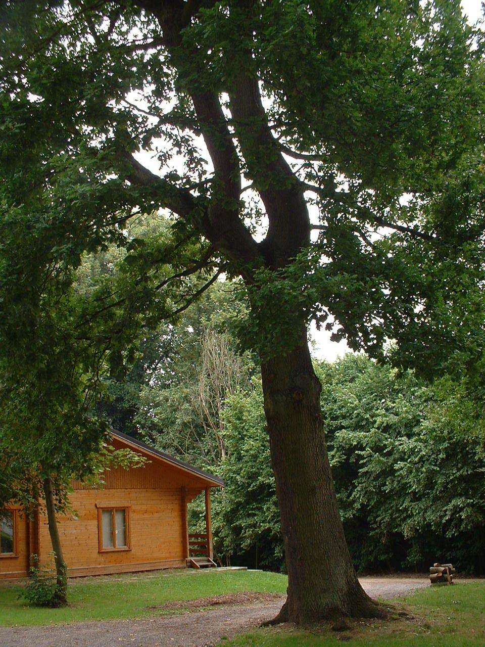 Chêne pédonculé – Watermael-Boitsfort, Parc du château Bischoffsheim, Avenue Van Kerm –  26 Juillet 2002
