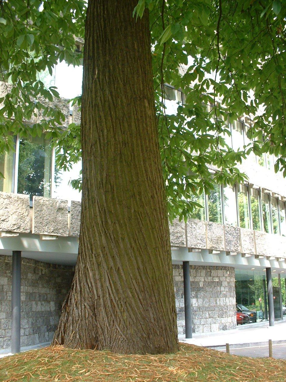 Châtaignier – Watermael-Boitsfort, Chaussée de La Hulpe, 166 –  26 Juillet 2002