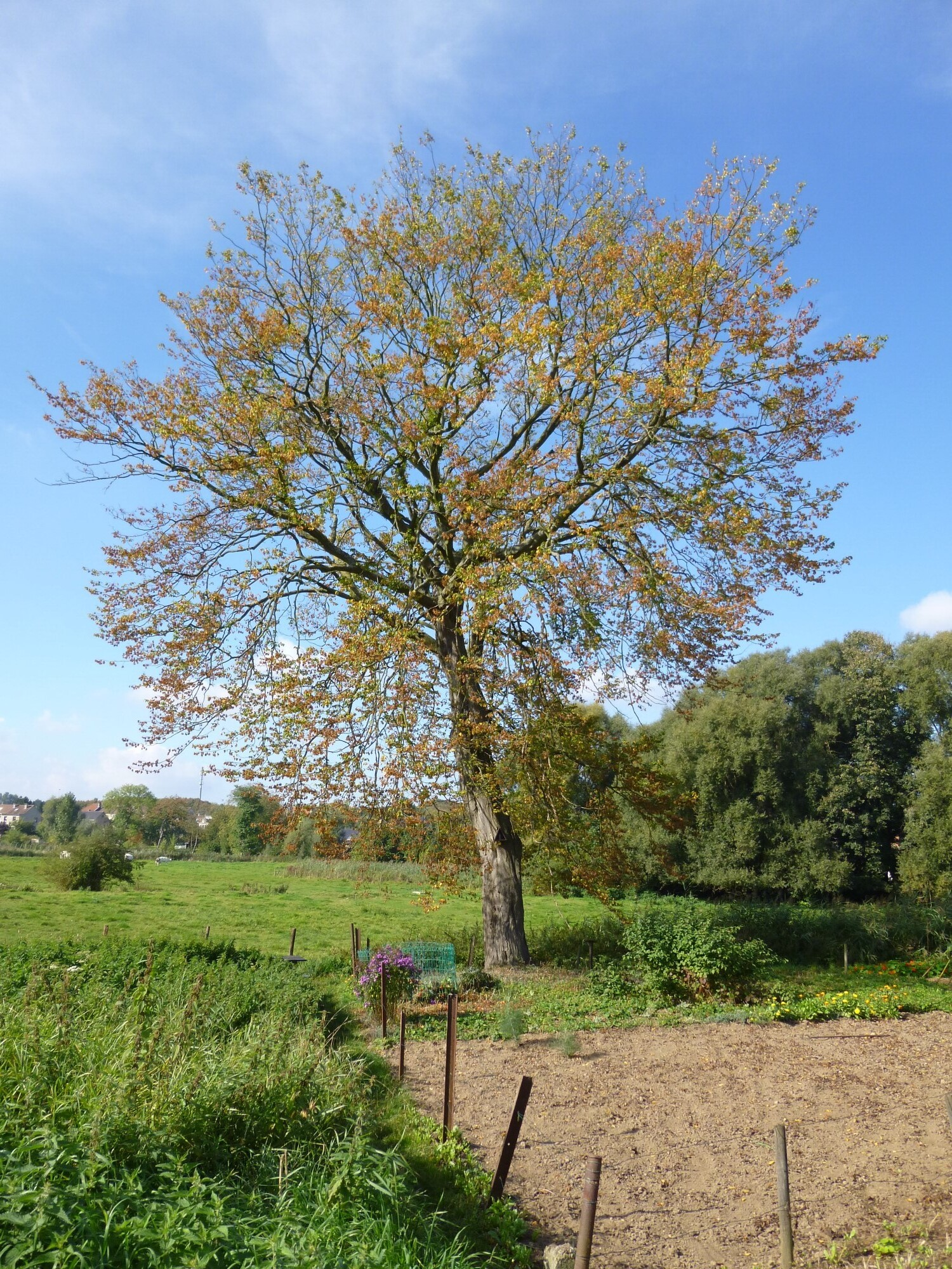 Charme commun – Berchem-Sainte-Agathe, Kattebroeck, Rue des Chats, 84 –  08 Octobre 2013
