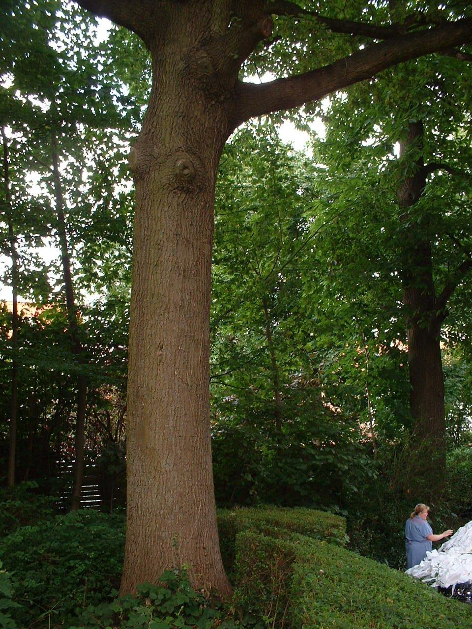 Chêne pédonculé – Watermael-Boitsfort, Chaussée de La Hulpe, 166 –  26 Juillet 2002