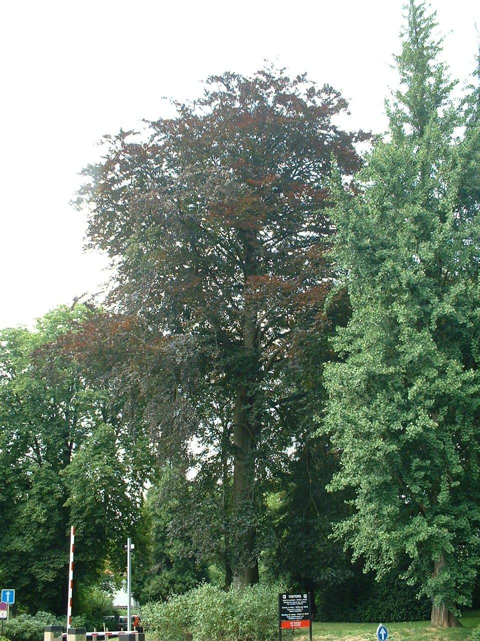 Hêtre pourpre – Watermael-Boitsfort, Chaussée de La Hulpe, 166 –  26 Juillet 2002