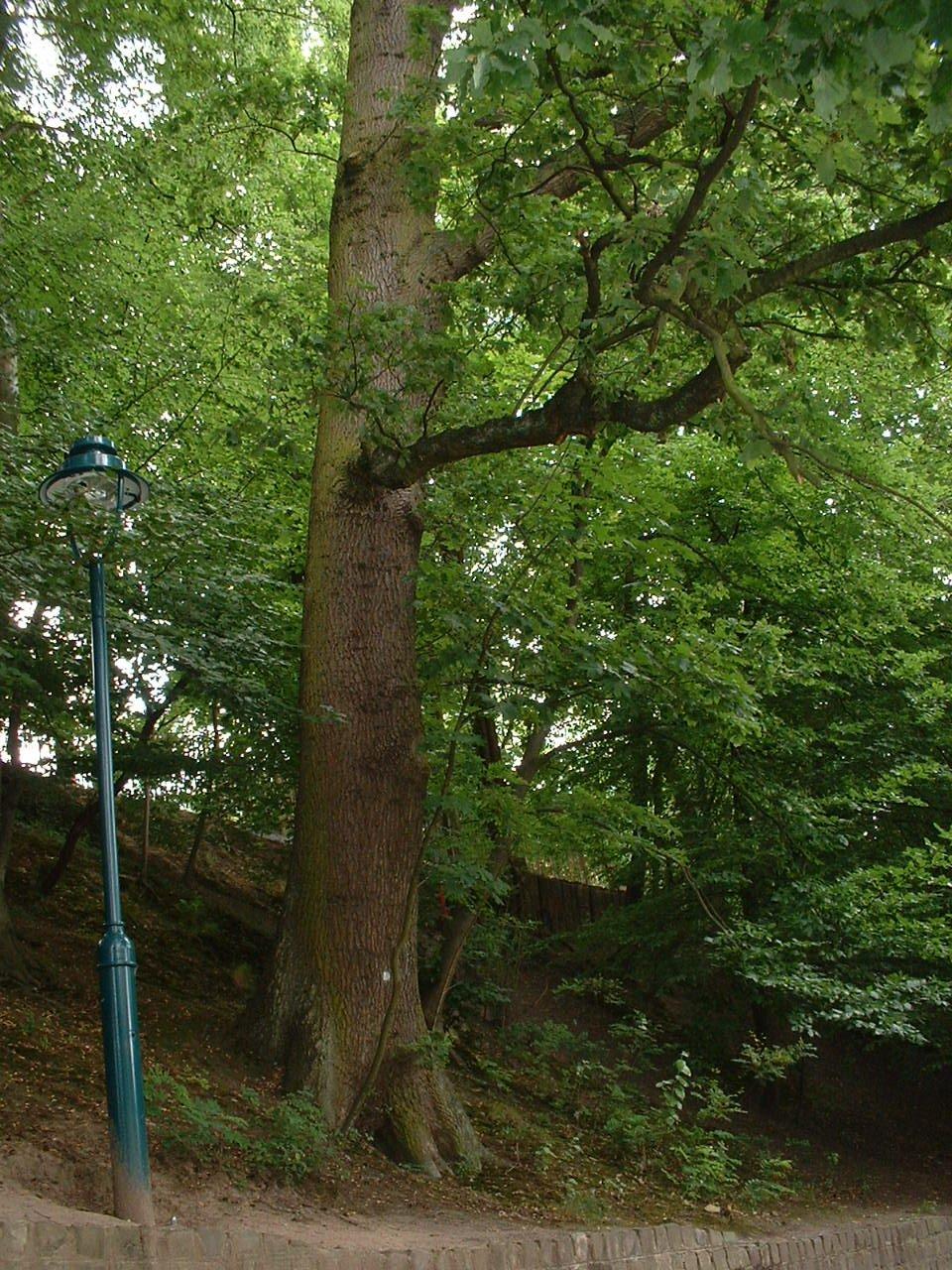 Chêne pédonculé – Auderghem, Parc Tenreuken, Avenue du Grand Forestier –  19 Juillet 2002