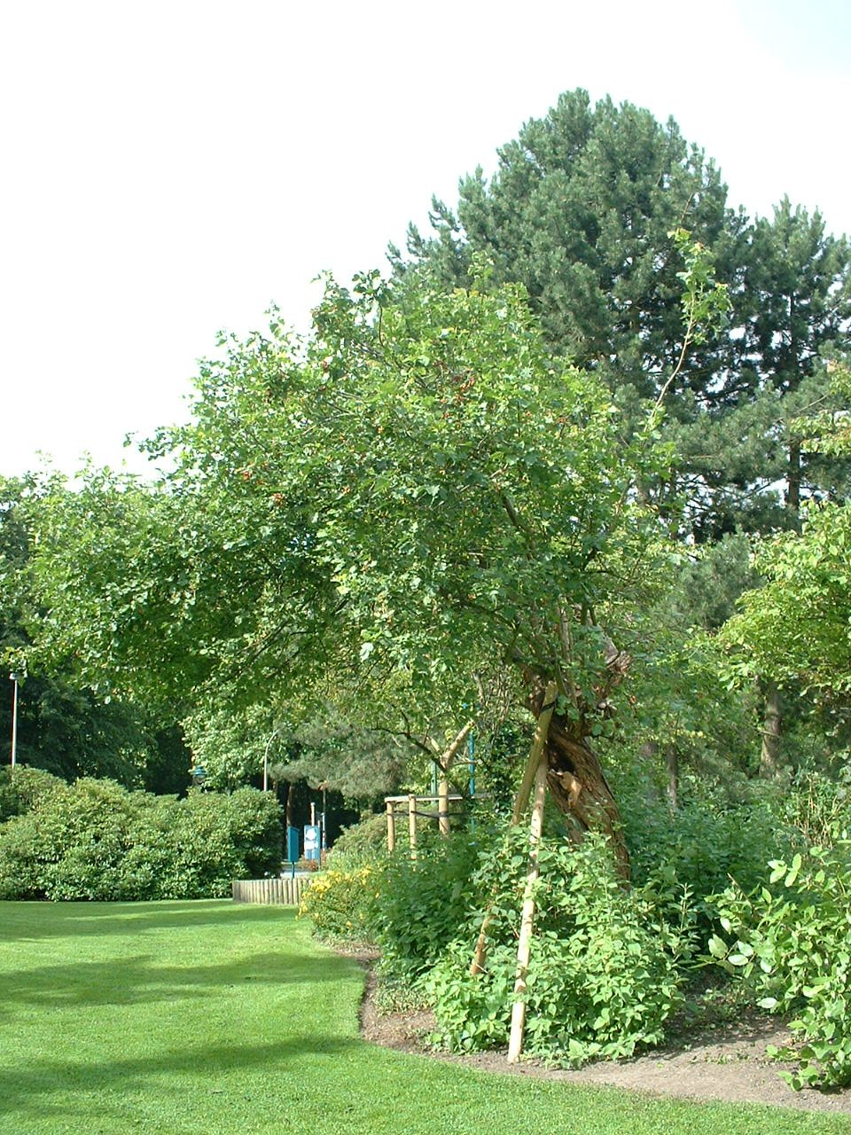 Crataegus mollis – Watermael-Boitsfort, Parc Seny, Boulevard du Souverain –  19 Juillet 2002