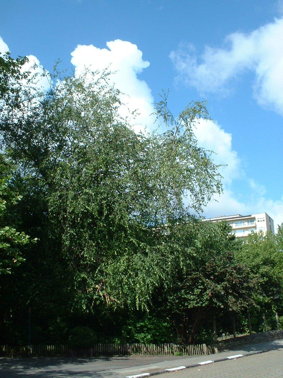 Bouleau de jacquemont – Auderghem, Parc Seny, Boulevard du Souverain –  22 Juillet 2002