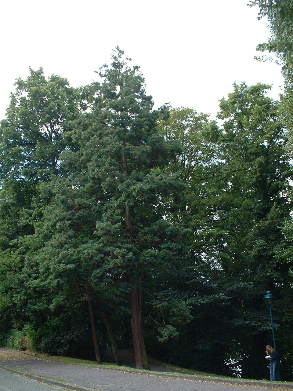 Dwerg- of schijncipres – Watermaal-Bosvoorde, Tenreukenpark, Woudmeesterlaan –  22 Juli 2002