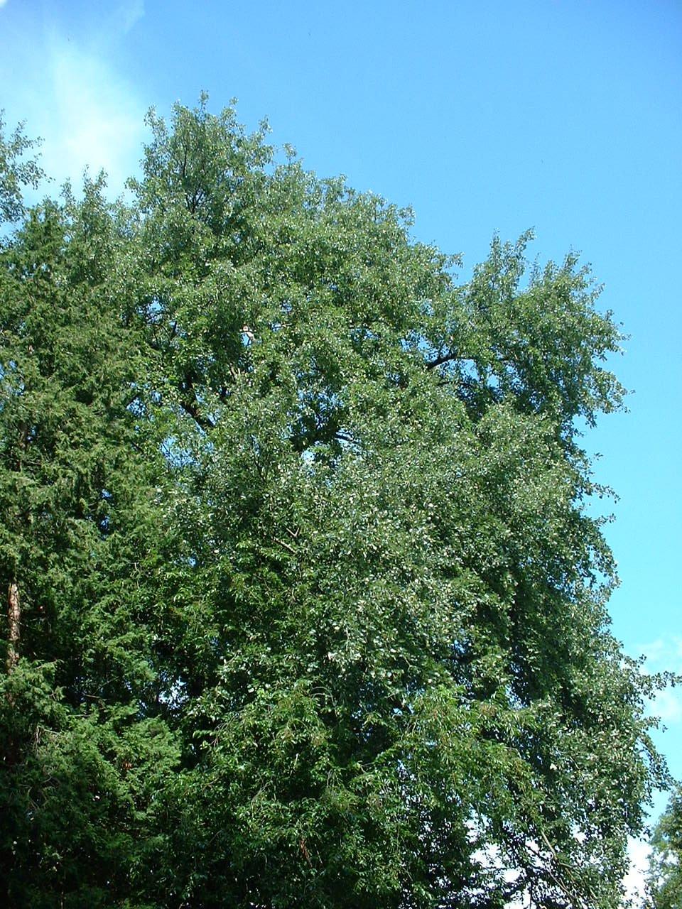Peuplier blanc – Auderghem, Avenue du Grand Forestier –  22 Juillet 2002