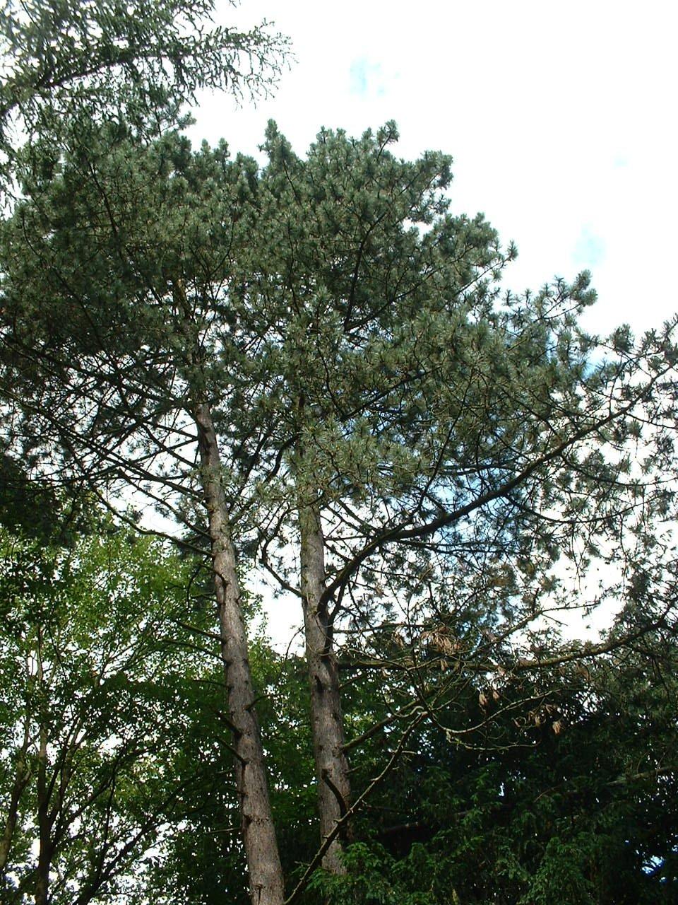 Pin sylvestre – Auderghem, Parc Tenreuken, Avenue du Grand Forestier –  22 Juillet 2002
