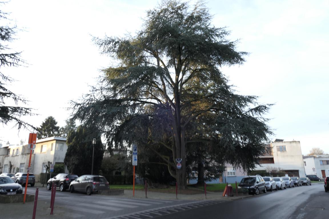 Cèdre bleu de l'Atlas – Berchem-Sainte-Agathe, Rue de Termonde –  19 Décembre 2019