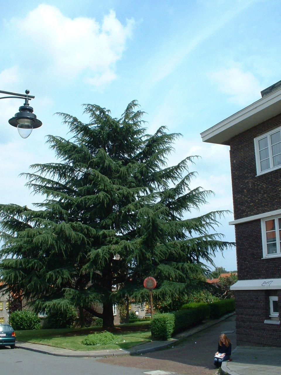 Cèdre de l'Himalaya – Watermael-Boitsfort, Cités-Jardin Le Logis et Floréal, Rue des Pétunias –  22 Juillet 2002